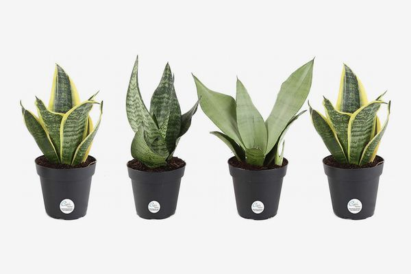 Costa Farms Snake Plant, Mother-In-Law's Tongue, Sansevieria, Easy to Grow, Ships in 4-Inch Grower Pot
