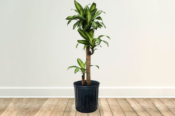 Dracaena Corn Plant