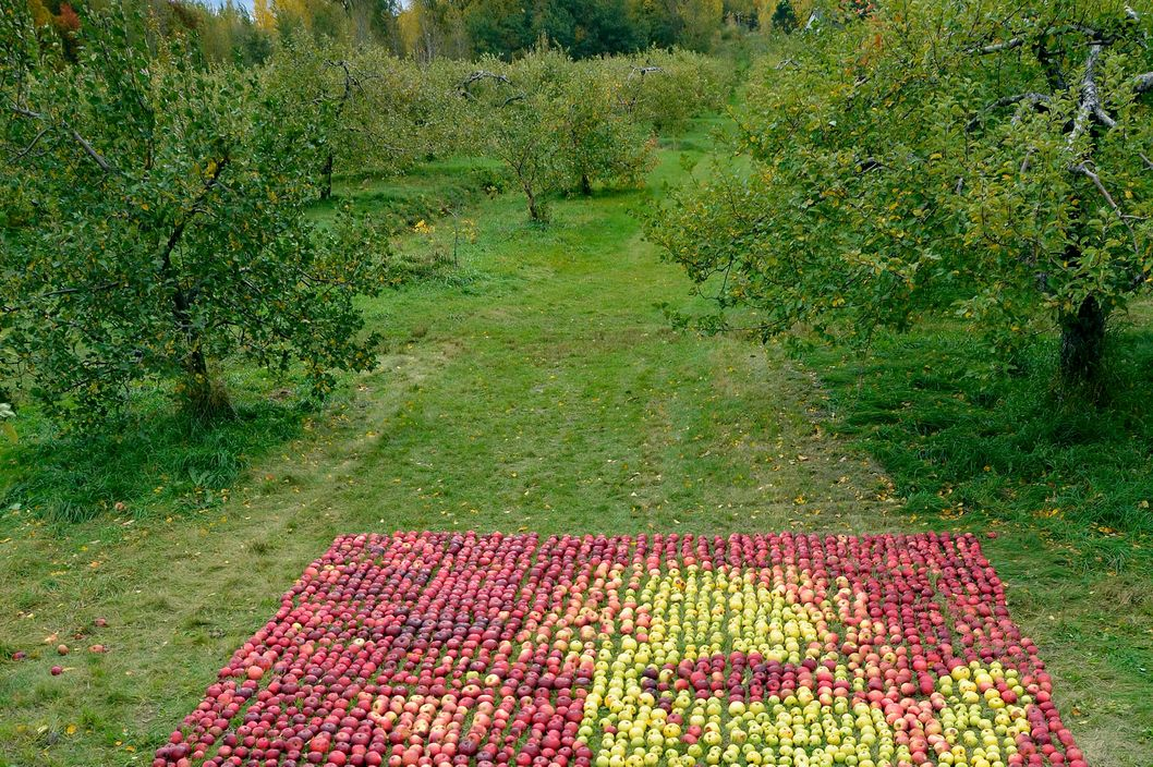 "Montreal-based artist Olivier Lefebvre has created this unique tribute to late Apple CEO Steve Jobs - made entirely from apples. Lefebvre, 34, used 3,500 green and red apples to create the mosaic over the course of four days at the Pavillon de la Pomme orchard in Mont St. Hilaire earlier this month. He said it took about 40 hours in total to create the work.""I went online and found a picture (of Jobs) that spoke to me,"" he said. He then worked to copy the photo by laying the apples in a grid system. He told a newspaper about half of the apples were ones that had already fallen on the orchard floor, and that he bought the rest from the orchard. ""People are freaking about how many apples I put on the land,"" Lefebvre told the Montreal Gazette. ""I didn't use any apples consumed by human beings."" Jobs died on October 5, aged 56. <P> Pictured: Steve Jobs tribute <P> <B>Ref: SPL327569  251011  </B><BR/> Picture by: Splash News/Olivier Lefebvre<BR/> </P><P> <B>Splash News and Pictures</B><BR/> Los Angeles: 310-821-2666<br> New York: 212-619-2666<br> London: 870-934-2666<br> photodesk@splashnews.com<br> </P>"