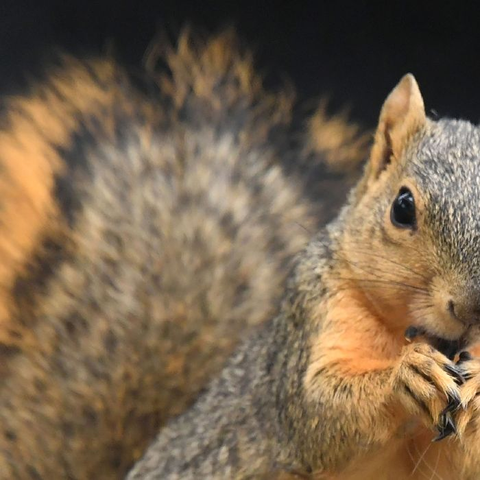 Close-up of a squirrel.