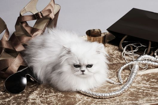 Persian cat resting amongst fashion accessories, studio shot