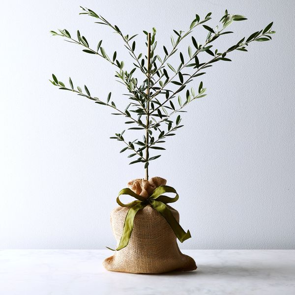 The Magnolia Company Olive Tree Sapling