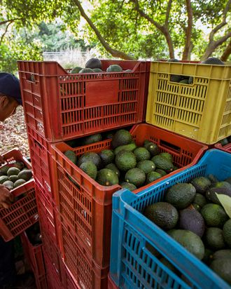 Men work during the harvest of avocado at an orchard in Uruapan municipality, Michoacan State, Mexico on April 6, 2016.