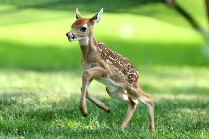 A baby deer runs on the par 5 15th hole during the second round of the Memorial Tournament presented by Nationwide Insurance at Muirfield Village Golf Club on May 31, 2013 in Dublin, Ohio.