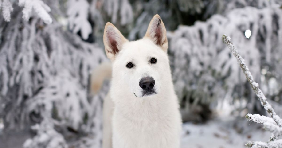 game of thrones ghost dog