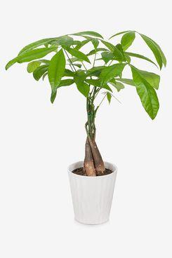 Plants & Blooms Shop Money Tree, 5