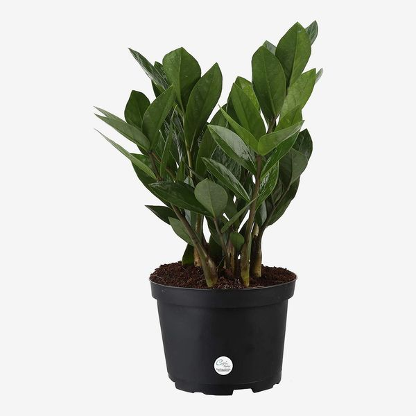 Costa Farms ZZ Plant, 12-Inches Tall in Grower Pot