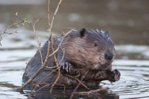 beaver in water leaning on a branch