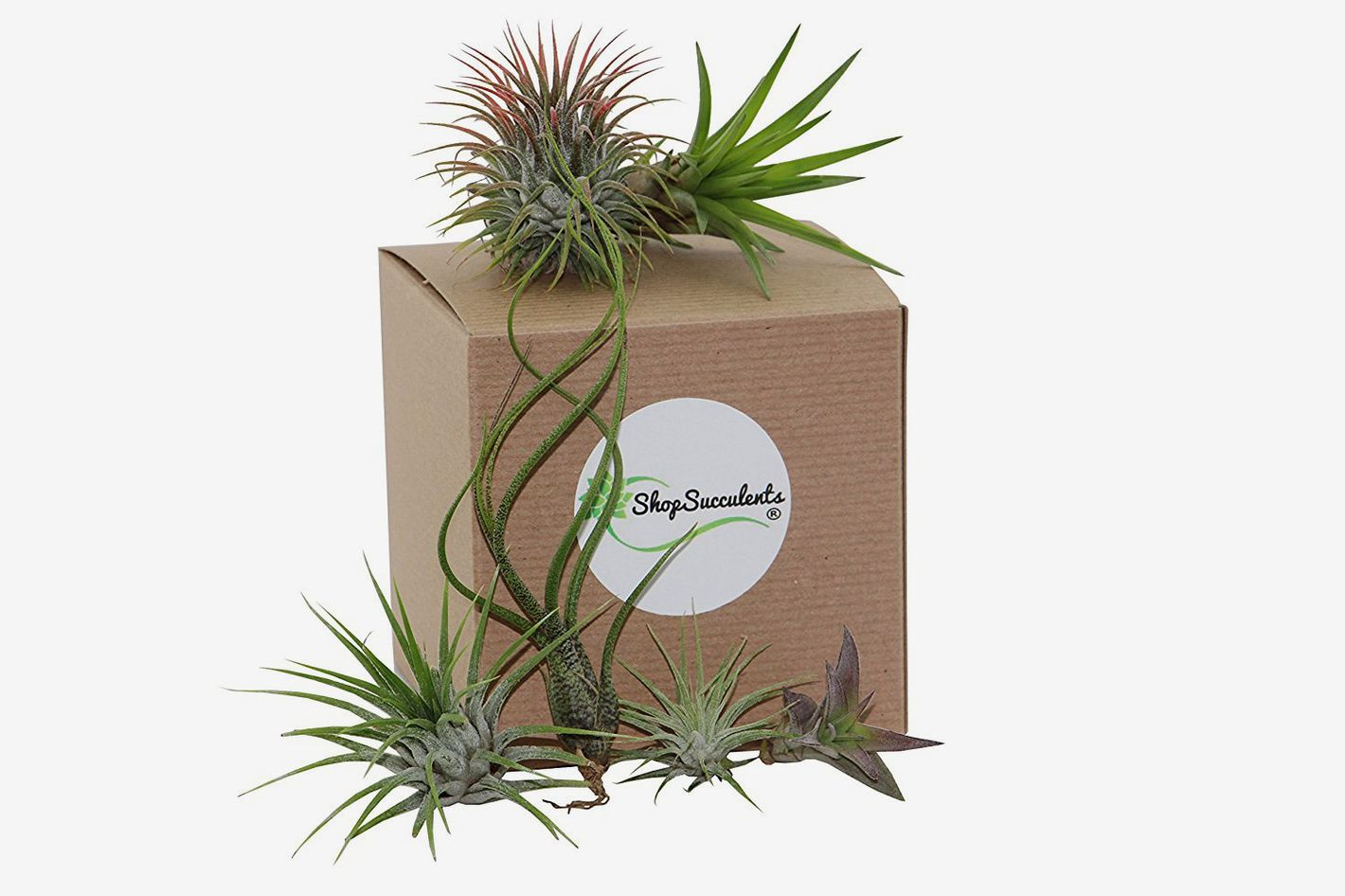 Shop Succulents Assorted Air Plants (Collection of 8)