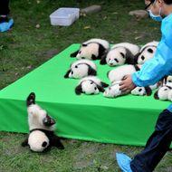 23 Giant Panda Cubs Make Debut In Chengdu