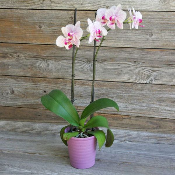 The Bouqs Company Bora Bora Orchid