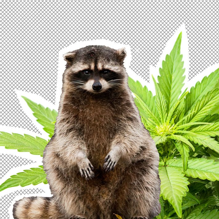 A raccoon and weed.