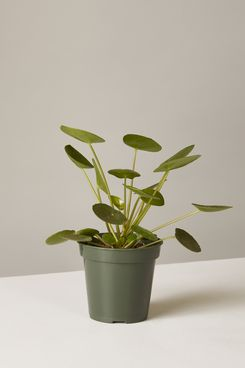 The Sill Pilea Peperomioides