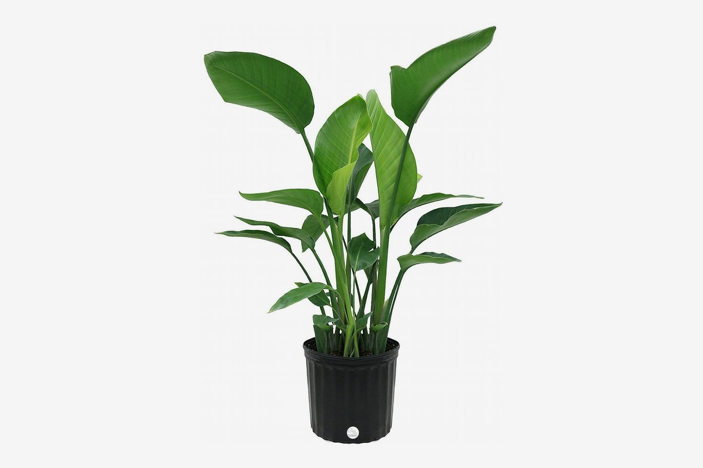 White Bird of Paradise Floor Plant