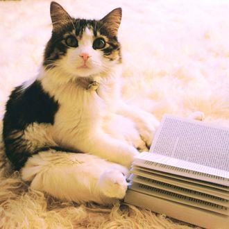 ca. July 1974 --- Casanova the house cat. --- Image by ? Morton Beebe/Corbis