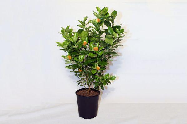 Calamondin Fruit