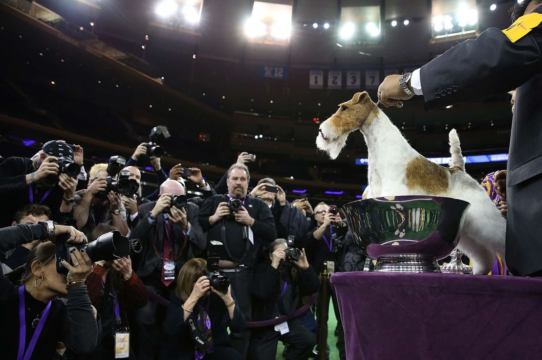 NEW YORK, NY - FEBRUARY 11:  A Wire Fox Terrier named Sky poses for photographers after winning the 138th Annual Westminster Kennel Club Dog Show on February 11, 2014 in New York City.  Sky won Best in Show at the 138th Annual Westminster Kennel Club Dog Show. (Photo by Justin Sullivan/Getty Images)
