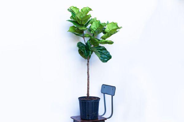 "Water & Light Fiddle Leaf Fig (4 feet tall, 10"" pot)"