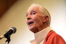 "British primatologist Dr Jane Goodall delivers a speech during a presentation at the National Museum on January 26, 2013 in Nairobi. The Great Apes Survival Partnership [GRASP] ambassador Dr. Goodall gave a presentation on ""Reason for Hope"" regarding endangered species, particularly chimpanzees. The Jane Goodall Institute works to protect the famous chimpanzees of Gombe National Park in Tanzania, but recognizes this can?t be accomplished without a comprehensive approach that addresses the needs of local people who are critical to chimpanzee survival."