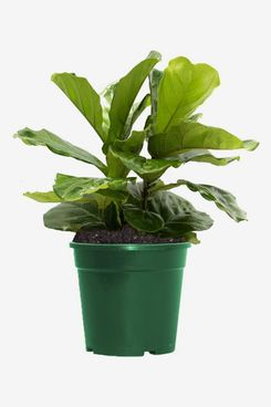 American Plant Exchange Fiddle Leaf Fig in Grow Pot