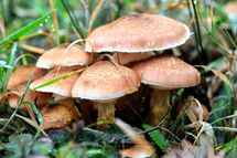 Mushrooms are pictured, on October 20, 2012 in the Clairmarais' wood, northern France.