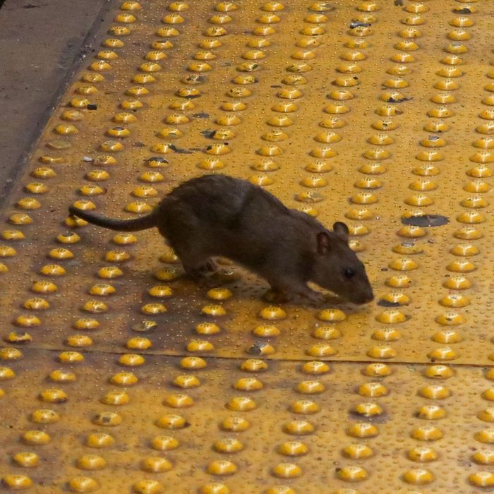A different alive rat, not the Sneaker Rat.