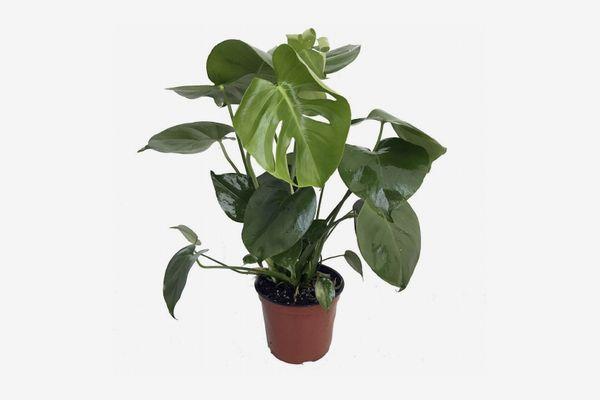 Hirt's Gardens Split Leaf Monstera 6